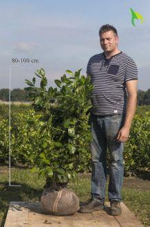 Großblättriger Kirschlorbeer Wurzelballen 80-100 cm Wurzelballen