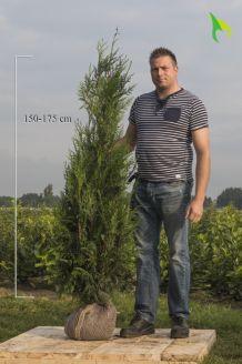 Lebensbaum 'Atrovirens' Wurzelballen 150-175 cm Extra Qualtität Wurzelballen