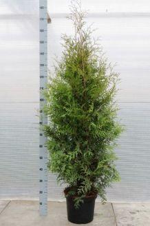 Lebensbaum 'Brabant' Topf 125-150 cm Topf