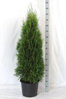 Lebensbaum 'Smaragd' (125-150 cm) Extra Qualtität Topf