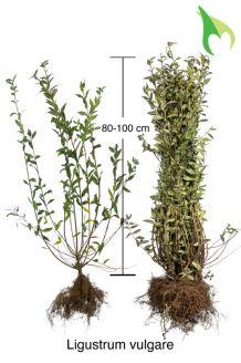 Gemeiner Liguster (80-100 cm) Wurzelware