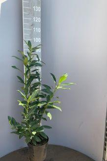Kirschlorbeer 'Caucasica' (60-80 cm) Topf