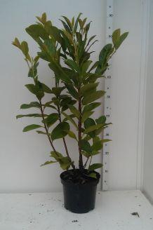 Kirschlorbeer 'Novita' Topf 60-80 cm Topf