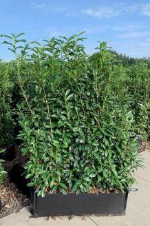 Kirschlorbeer 'Genolia' Fertig-Hecken 160 cm Fertighecke