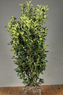 Kirschlorbeer 'Ani' (125-150 cm) Extra Qualtität Wurzelballen