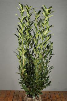 Kirschlorbeer 'Caucasica' (150-175 cm) Wurzelballen