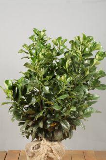 Kirschlorbeer 'Etna' (60-80 cm) Wurzelballen