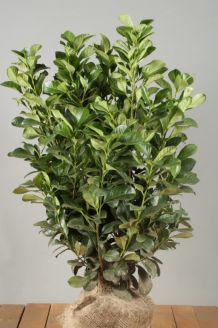 Kirschlorbeer 'Etna' (80-100 cm) Extra Qualtität Wurzelballen