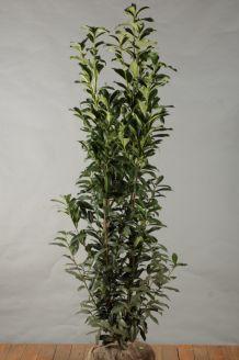 Kirschlorbeer 'Genolia' Wurzelballen 150-175 cm Wurzelballen