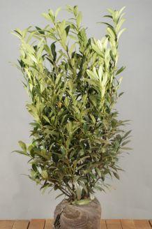 Kirschlorbeer 'Herbergii' Wurzelballen 100-125 cm Extra Qualtität Wurzelballen