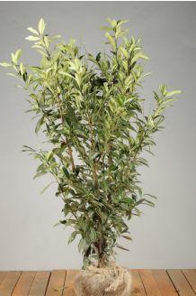 Kirschlorbeer 'Herbergii' Wurzelballen 125-150 cm Extra Qualtität Wurzelballen