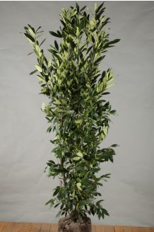 Kirschlorbeer 'Herbergii' Wurzelballen 150-175 cm Wurzelballen