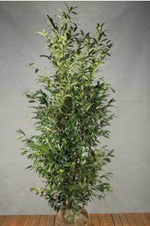 Kirschlorbeer 'Herbergii' Wurzelballen 200-225 cm Extra Qualtität Wurzelballen