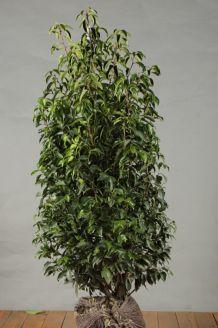 Portugiesischer Kirschlorbeer Wurzelballen 125-150 cm Extra Qualtität Wurzelballen