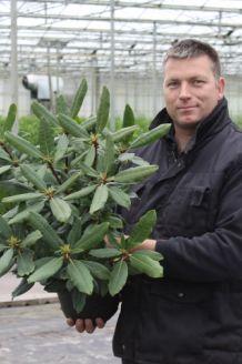 Rhododendron Roseum Topf 40-50 cm Topf