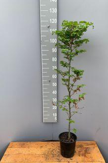Rotbuche (100-125 cm) Topf