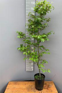 Rotbuche (125-150 cm) Topf