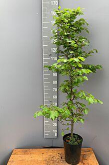 Rotbuche (150-175 cm) Topf