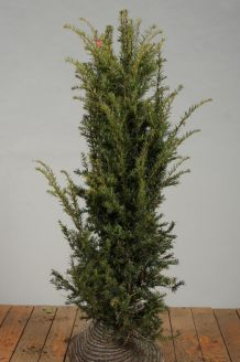 Eibe (125-150 cm) Extra Qualtität Wurzelballen