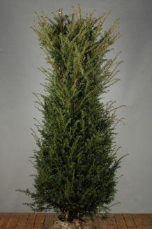 Eibe (175-200 cm) Extra Qualtität Wurzelballen