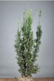 Becher-Eibe 'Hicksii' Wurzelballen 125-150 cm Wurzelballen