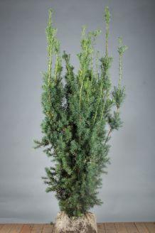 Becher-Eibe 'Hicksii' Wurzelballen 150-175 cm Extra Qualtität Wurzelballen