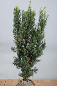 Becher-Eibe 'Hicksii' Wurzelballen 80-100 cm Wurzelballen