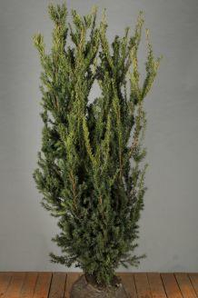 Becher-Eibe 'Hilli' Wurzelballen 150-175 cm Wurzelballen