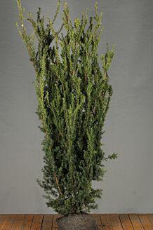Becher-Eibe 'Hilli' Wurzelballen 175-200 cm Wurzelballen