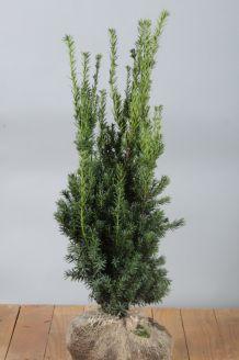 Becher-Eibe 'Hilli' (80-100 cm) Wurzelballen