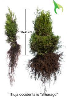 Lebensbaum 'Smaragd' (30-40 cm) Wurzelware