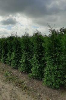 Lebensbaum 'Brabant' Wurzelballen 225-250 cm Extra Qualtität Wurzelballen