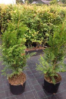 Lebensbaum 'Brabant' Topf 100-125 cm Topf