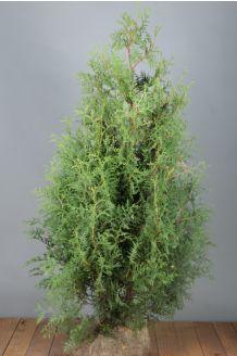 Lebensbaum 'Brabant' Wurzelballen 125-150 cm Extra Qualtität Wurzelballen