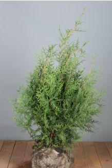 Lebensbaum 'Brabant' Wurzelballen 80-100 cm Extra Qualtität Wurzelballen