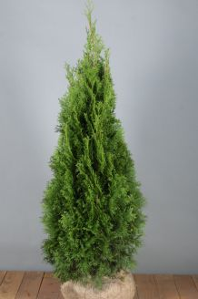 Lebensbaum 'Smaragd' (100-125 cm) Extra Qualtität Wurzelballen