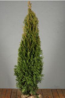 Lebensbaum 'Smaragd' (125-150 cm) Extra Qualtität Wurzelballen