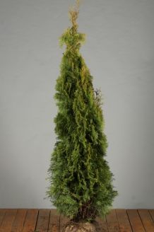 Lebensbaum 'Smaragd' (150-175 cm) Extra Qualtität Wurzelballen