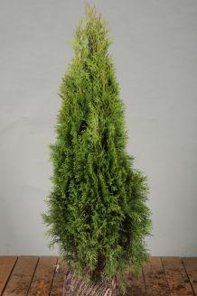Lebensbaum 'Smaragd' (60-80 cm) Wurzelballen