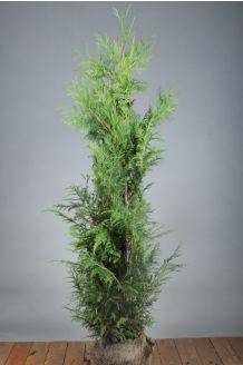 Lebensbaum 'Excelsa' (125-150 cm) Wurzelballen