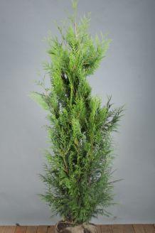 Lebensbaum 'Martin' Wurzelballen 150-175 cm Extra Qualtität Wurzelballen