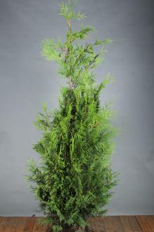 Lebensbaum 'Martin' Wurzelballen 175-200 cm Extra Qualtität Wurzelballen