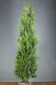 Lebensbaum 'Excelsa' (200-225 cm) Wurzelballen