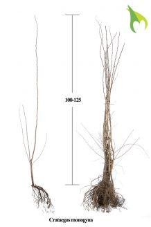 Eingriffeliger Weissdorn (100-125 cm) Wurzelware
