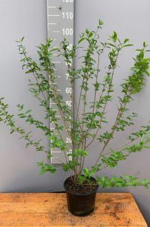 Wintergrüner Liguster Atrovirens (80-100 cm) Topf
