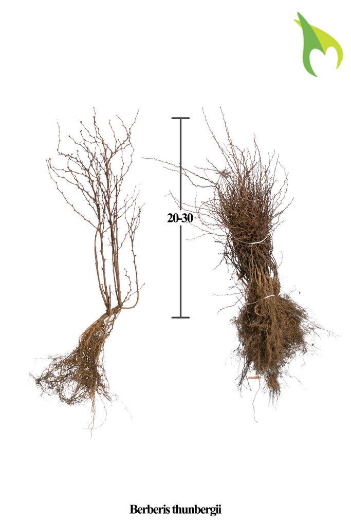 Berberitze (20-30 cm) Wurzelware