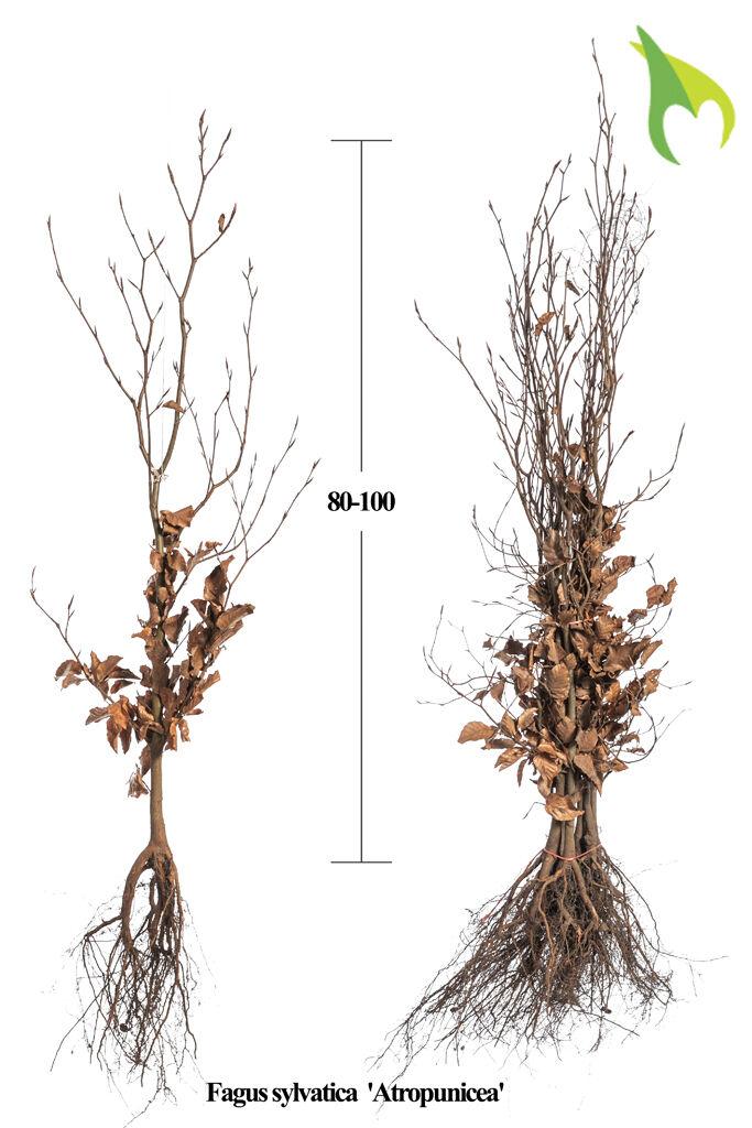 Blutbuche (80-100 cm) Wurzelware