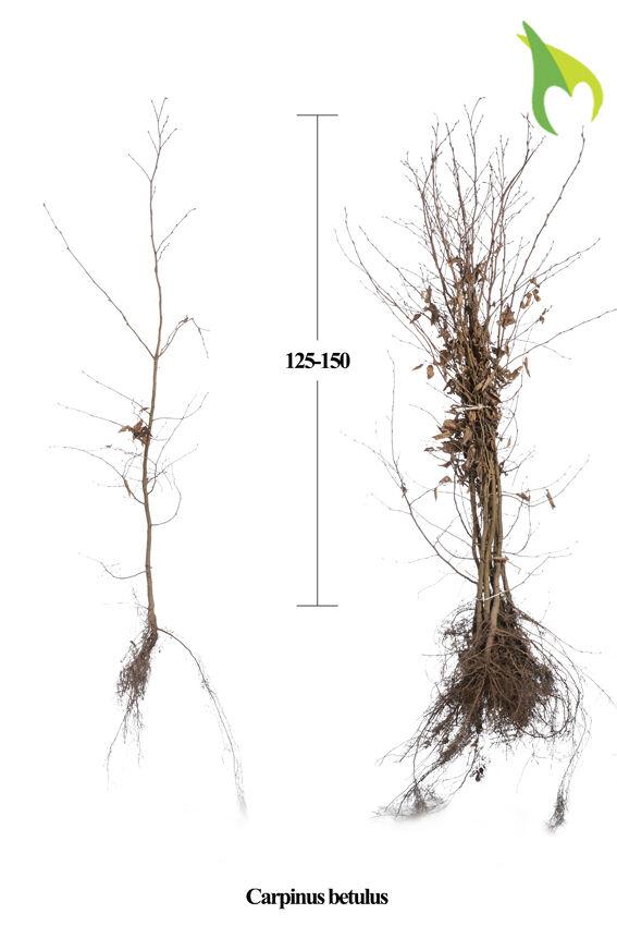 Hainbuche (125-150 cm) Wurzelware