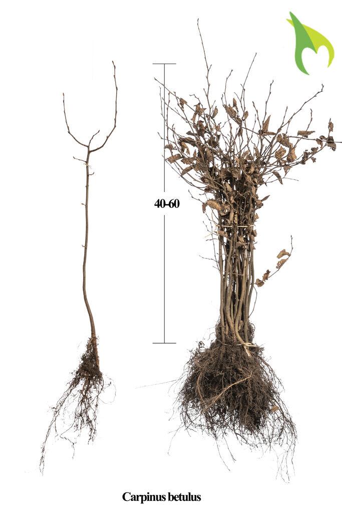 Hainbuche (40-60 cm) Wurzelware
