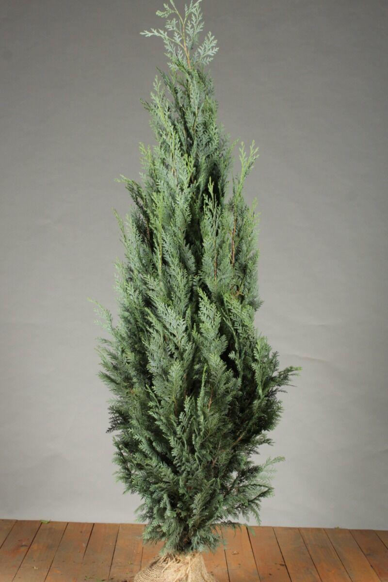 Blaue Scheinzypresse (125-150 cm) Extra Qualtität Wurzelballen